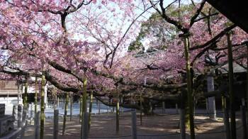 宮地獄神社桜