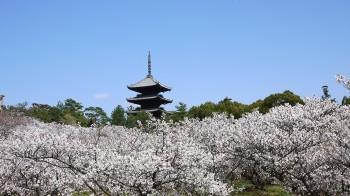 御室桜全景