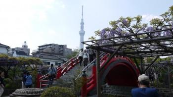 亀戸天神太鼓橋と藤とスカイツリー