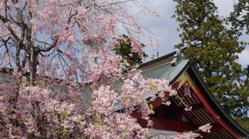 御岳神社しだれ桜