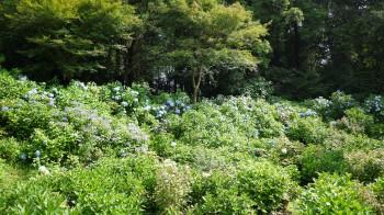 大宝紫陽花苑