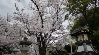 三島大社入口桜