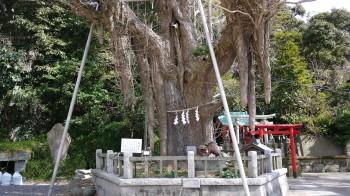 海南神社大銀杏
