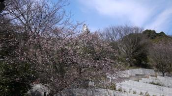 妙音寺寒桜