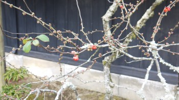 東慶寺ボケの花