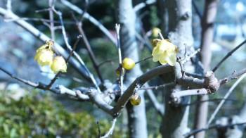 長谷寺蝋梅の花