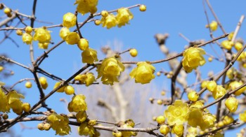 浄妙寺蝋梅の花