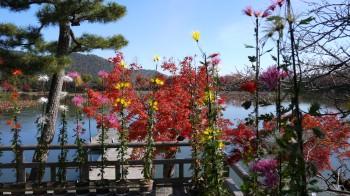大覚寺池と菊と紅葉