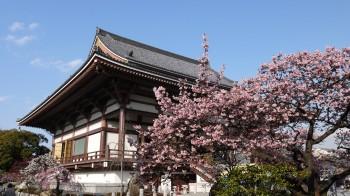 西新井大師桜