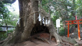 下関住吉神社大クスの木
