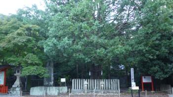 速玉神社のなぎの樹
