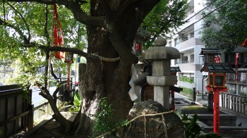 若一神社御神木