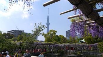 亀戸天神藤とスカイツリー