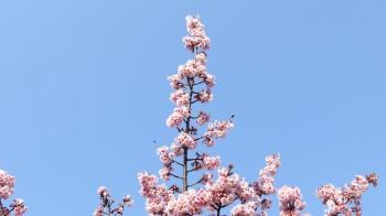 西新井薬師の寒桜