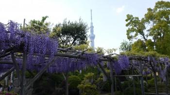 亀戸天神藤とスカイツリー3