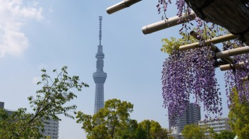 亀戸天神藤とスカイツリー2
