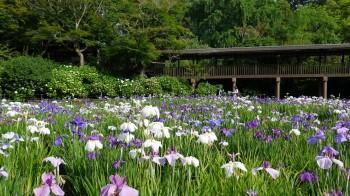 本土寺花菖蒲と回廊