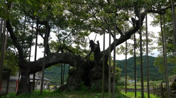 実相寺神代桜